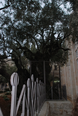3,000-year-old olive tree outside the Basilica of the Agony